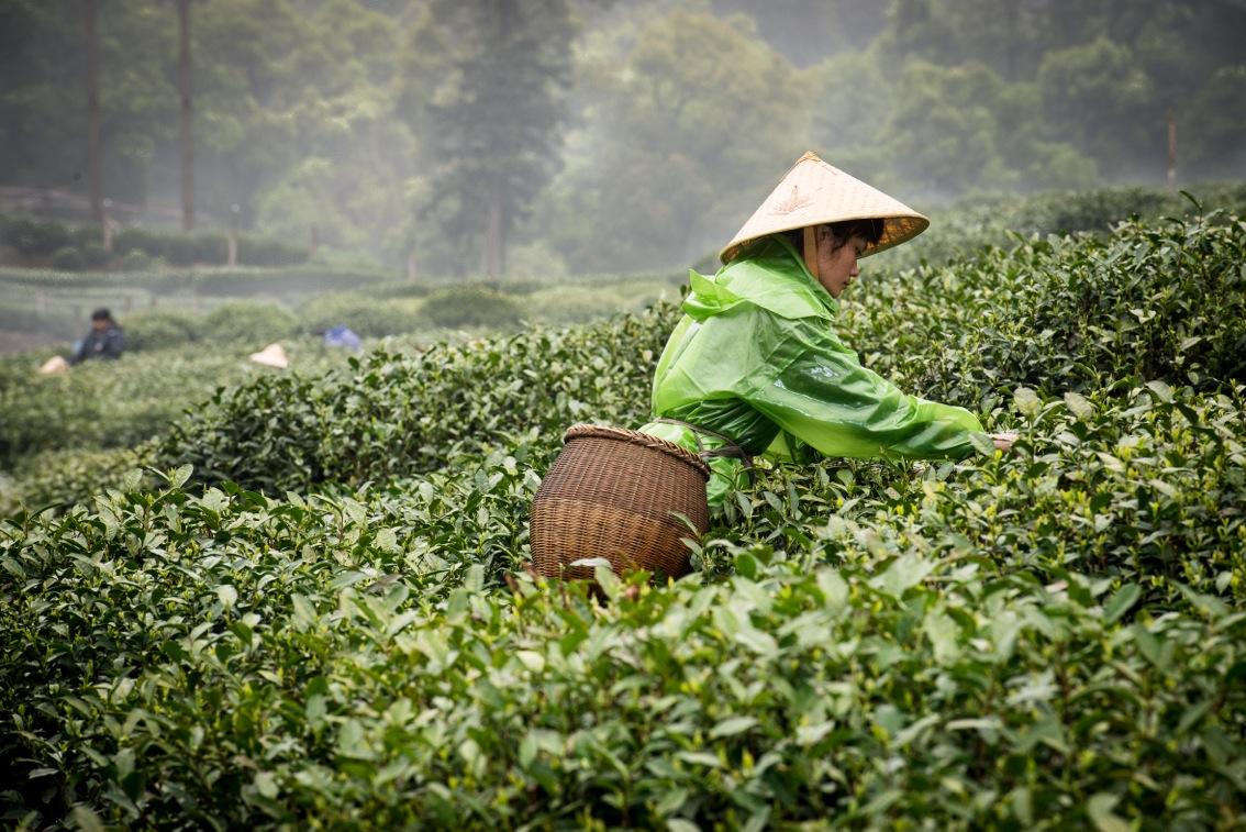 tea-8352