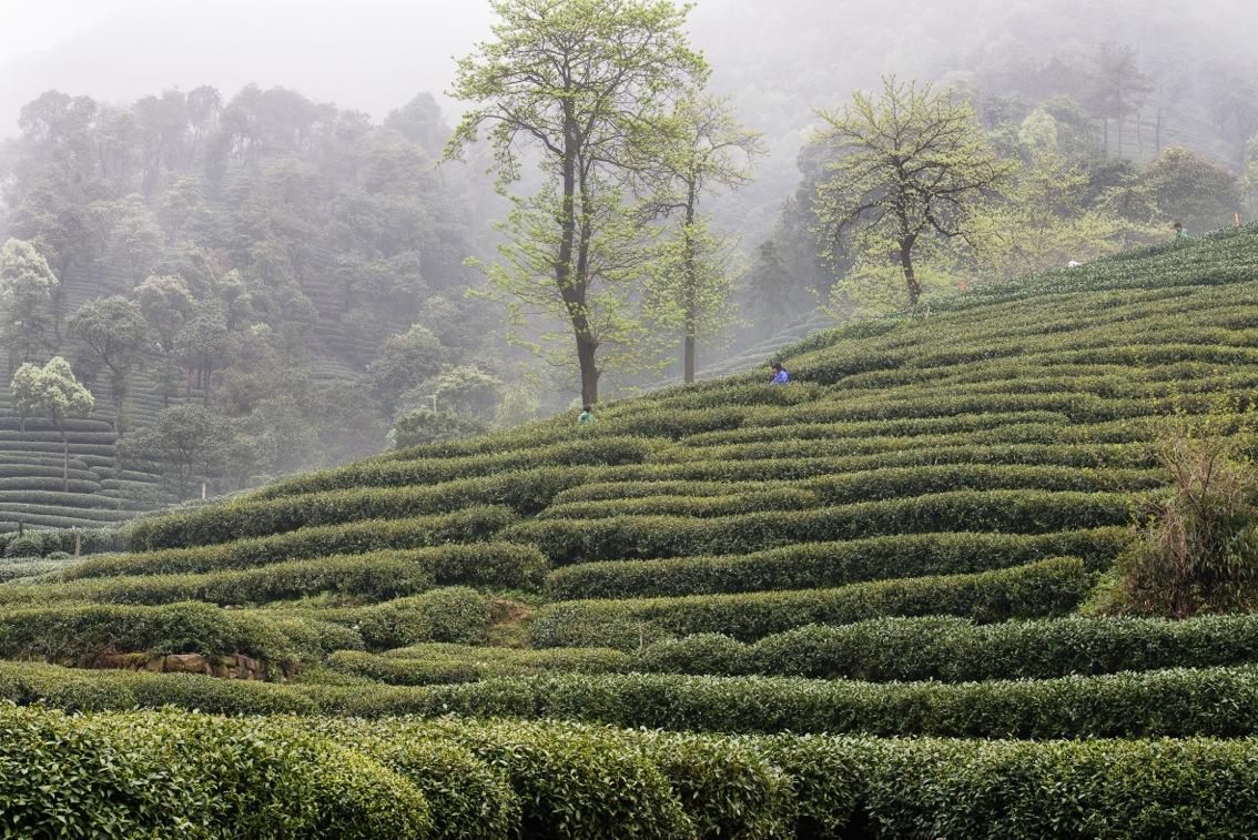 tea-8371