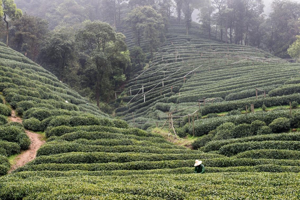 tea-8374